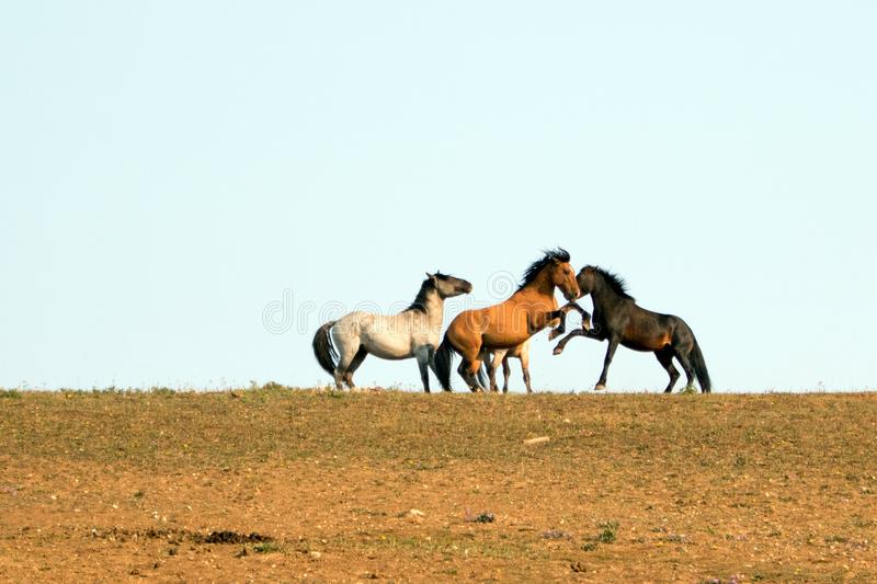 Wild Horses / Mustang Stallions fighting in the Pryor Mountains Wild Horse Range on the state border of Wyoming and Montana USA. Wild Horses / Mustang Stallioins royalty free stock photos