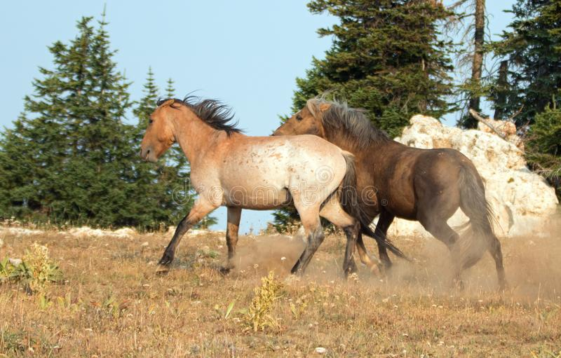 Wild Horses / Mustang Stallions fighting in the Pryor Mountains Wild Horse Range on the state border of Wyoming and Montana USA. Wild Horses / Mustang Stallioins stock photos
