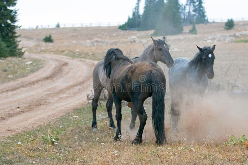Wild Horses / Mustang Stallions fighting in the Pryor Mountains Wild Horse Range on the state border of Wyoming and Montana USA. Wild Horses / Mustang Stallioins royalty free stock images