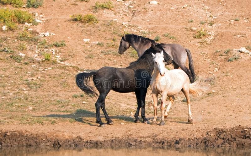 Wild Horses / Mustang Stallions fighting in the Pryor Mountains Wild Horse Range on the state border of Wyoming and Montana USA. Wild Horses / Mustang Stallioins stock images