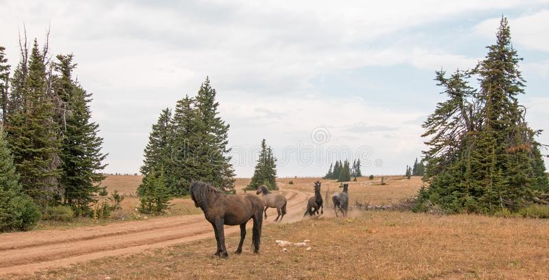 Wild Horses / Mustang Stallions fighting in the Pryor Mountains Wild Horse Range on the state border of Wyoming and Montana USA. Wild Horses / Mustang Stallioins stock photography