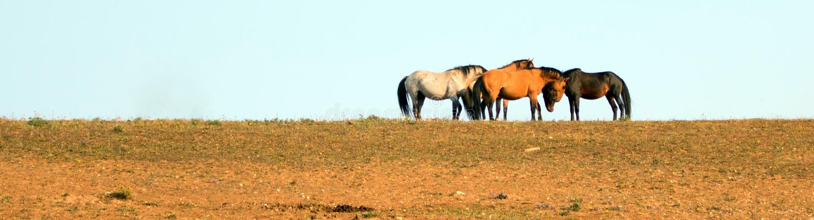 Wild Horses / Mustangs facing off before fighting in the Pryor Mountains Wild Horse Range on border of Wyoming and Montana USA. Wild Horses / Mustangs facing off stock photos