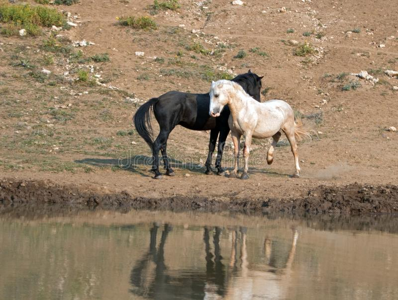 Wild Horses / Mustangs facing off before fighting in the Pryor Mountains Wild Horse Range on border of Wyoming and Montana USA. Wild Horses / Mustangs facing off royalty free stock images