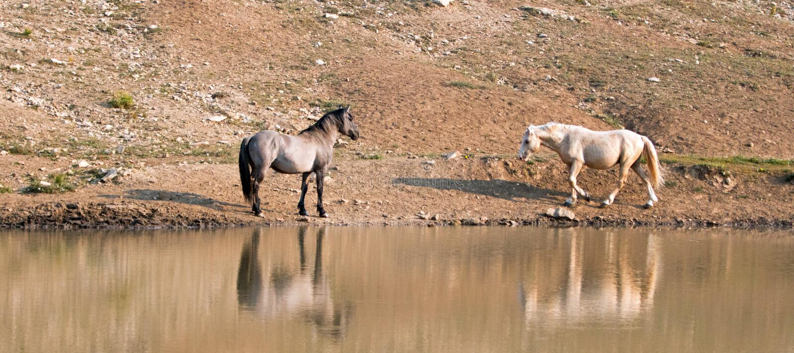 Wild Horses / Mustangs facing off before fighting in the Pryor Mountains Wild Horse Range on border of Wyoming and Montana USA. Wild Horses / Mustangs facing off stock photo