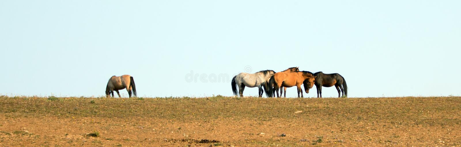 Wild Horses / Mustangs facing off before fighting in the Pryor Mountains Wild Horse Range on border of Wyoming and Montana USA. Wild Horses / Mustangs facing off royalty free stock photo