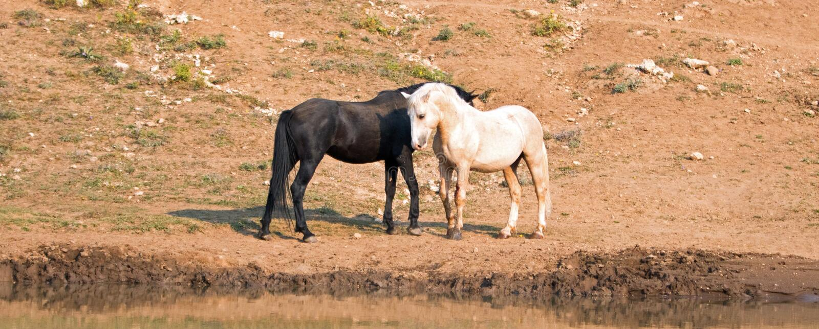 Wild Horses / Mustangs facing off before fighting in the Pryor Mountains Wild Horse Range on border of Wyoming and Montana USA. Wild Horses / Mustangs facing off royalty free stock photography