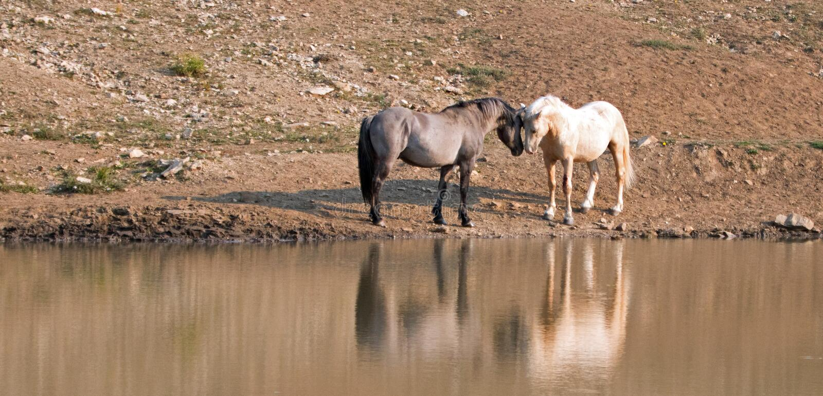 Wild Horses / Mustangs facing off before fighting in the Pryor Mountains Wild Horse Range on border of Wyoming and Montana USA. Wild Horses / Mustangs facing off stock photography