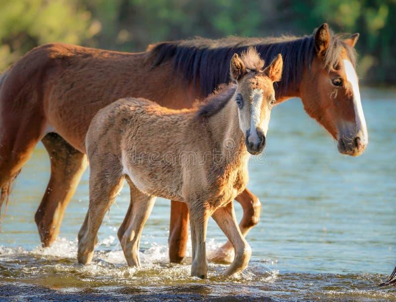 Wild Horses Mustangs in Salt River, Arizona. Salt River Wild Horses, or Mustangs, in the Tonto National Forest, East of Phoenix Arizona stock images