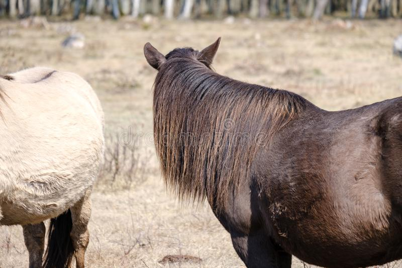wild horses in naked pasture in spring royalty free stock images