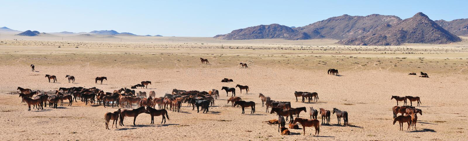 Wild horses of the namib panorama stock images