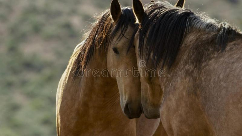 Wild horses of Nevada, herd of wild mustang horses in the high Nevada desert mountains stock image