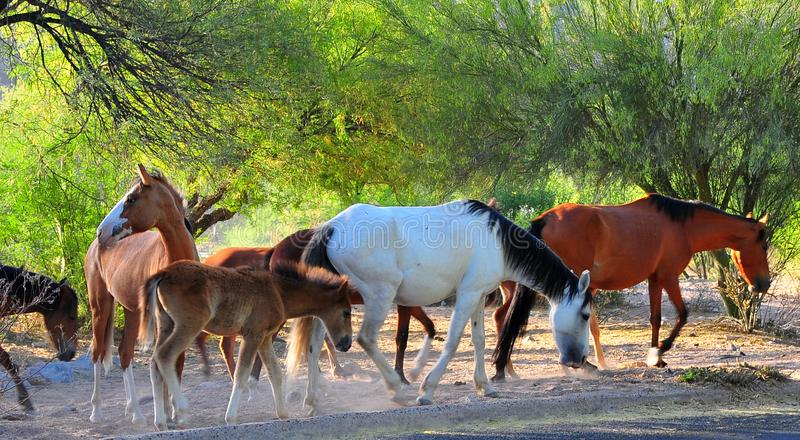 Wild Horses Playing For Fun Running Free royalty free stock photography