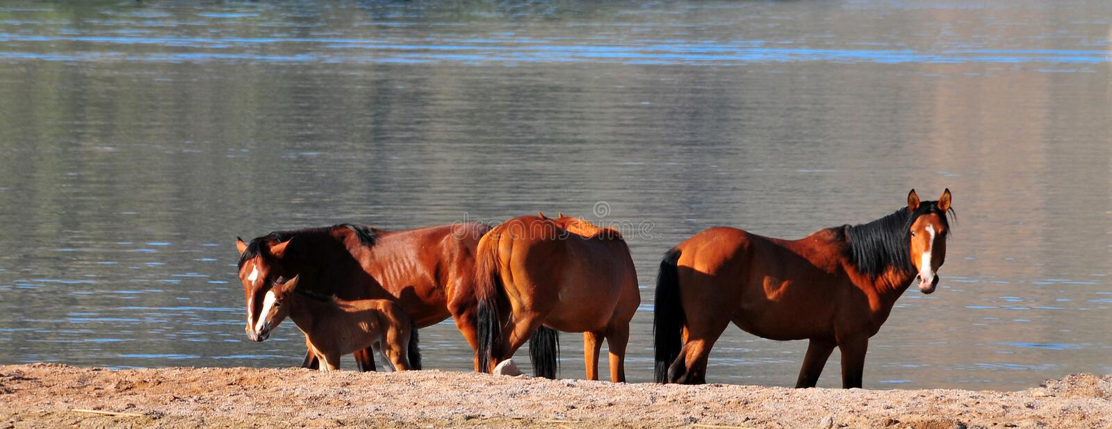 Wild Horses Playing For Fun Running Free royalty free stock photo