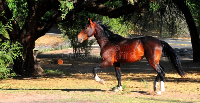 Wild Horses Playing For Fun Running Free royalty free stock image