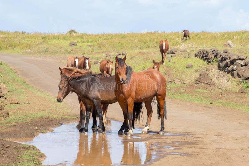 Wild horses in a puddle of water along a road in the interior of Easter Island, Chile.  stock photos