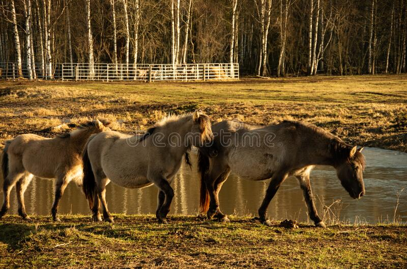Wild horses, rear horses in the paddock. Three horses walking stock images