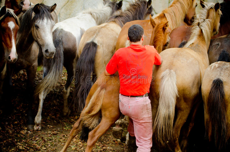 Download Wild horses editorial image. Image of herd, bestas, horses - 30937405