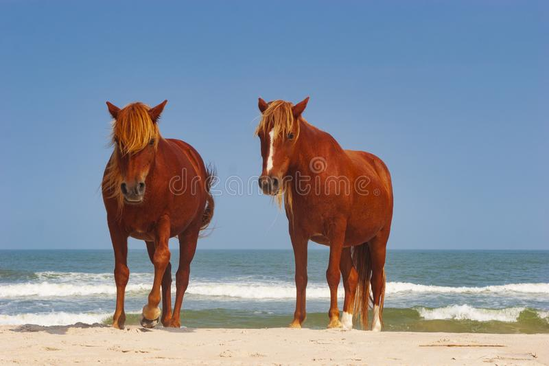 Wild horses roam freely at a campground at Assateague Island, a long barrier island off the Atlantic Coast of the state of stock photo