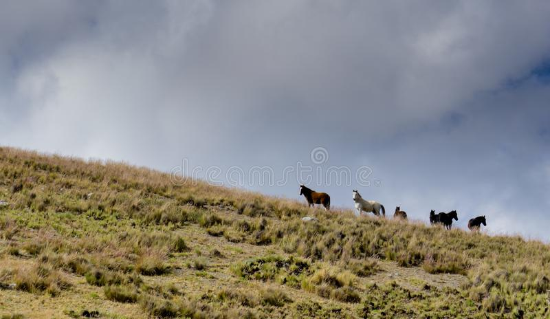 Wild horses roaming the empty prairie under an expressive blue and cloudy sky. In the high alpine grasslands of the Andes of Peru royalty free stock photo