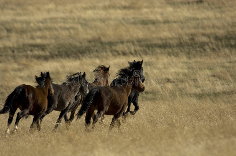 Wild horses running away stock images