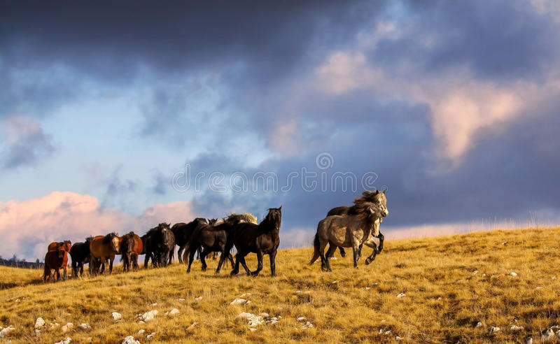 Wild horses running on montain royalty free stock image