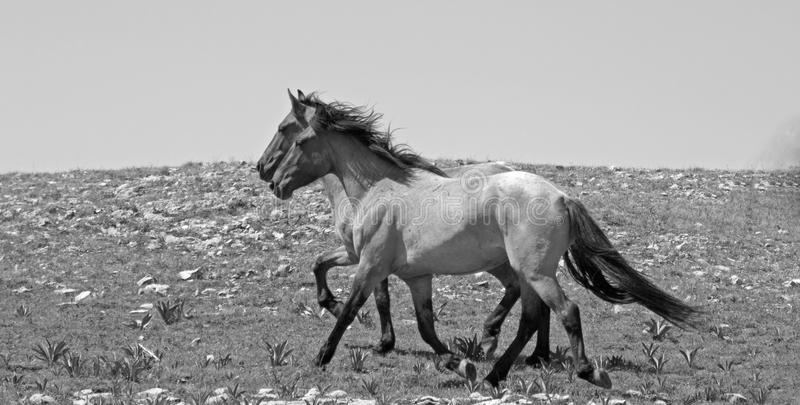 2 wild horses running in the Pryor Mountains of Montana USA - black and white stock images