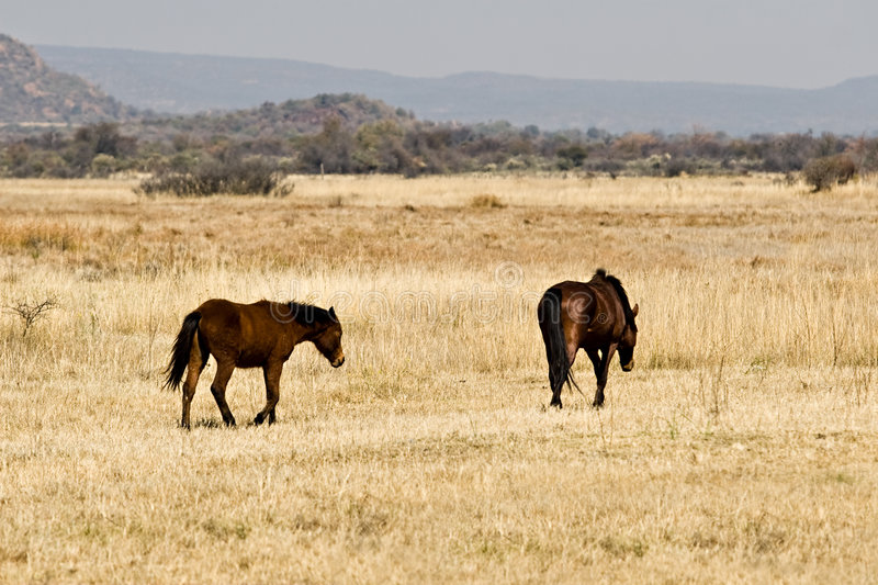 Download Wild horses on savannah stock image. Image of outdoors - 2867155