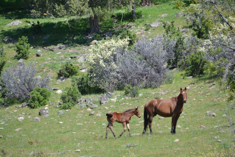 Wild horses springtime foal. Wild horse heard of Copco Lake mare with foal stock photos