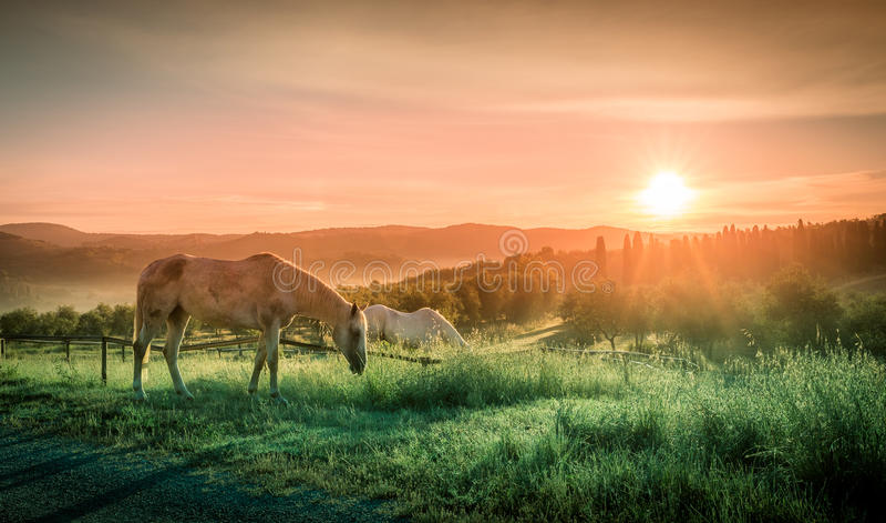 Wild horses and tuscan sunrise stock photos