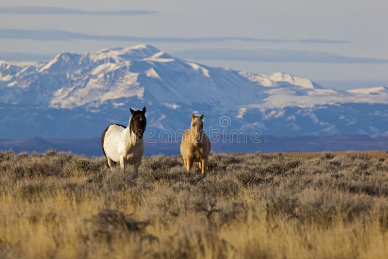 Download Wild Horses In Wyoming With Snow Capped Mountains Stock Image - Image of stud, mustangs: 26956509