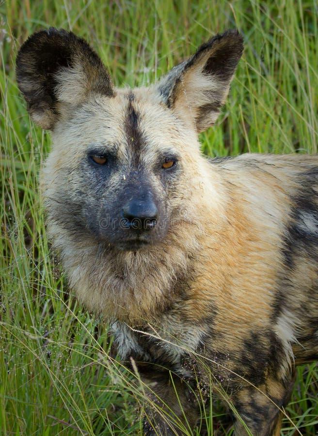 wild hund arkivfoton
