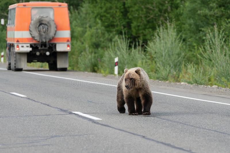 Wild hungry brown bear walking on road and begs for human food from people stock image