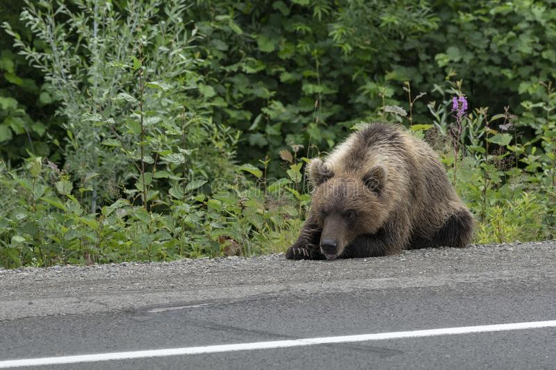 Wild hungry Kamchatka brown bear lies on highway and sadly looks at road. Hungry wild Kamchatka brown bear lies on asphalt highway and sadly looks at road royalty free stock photo