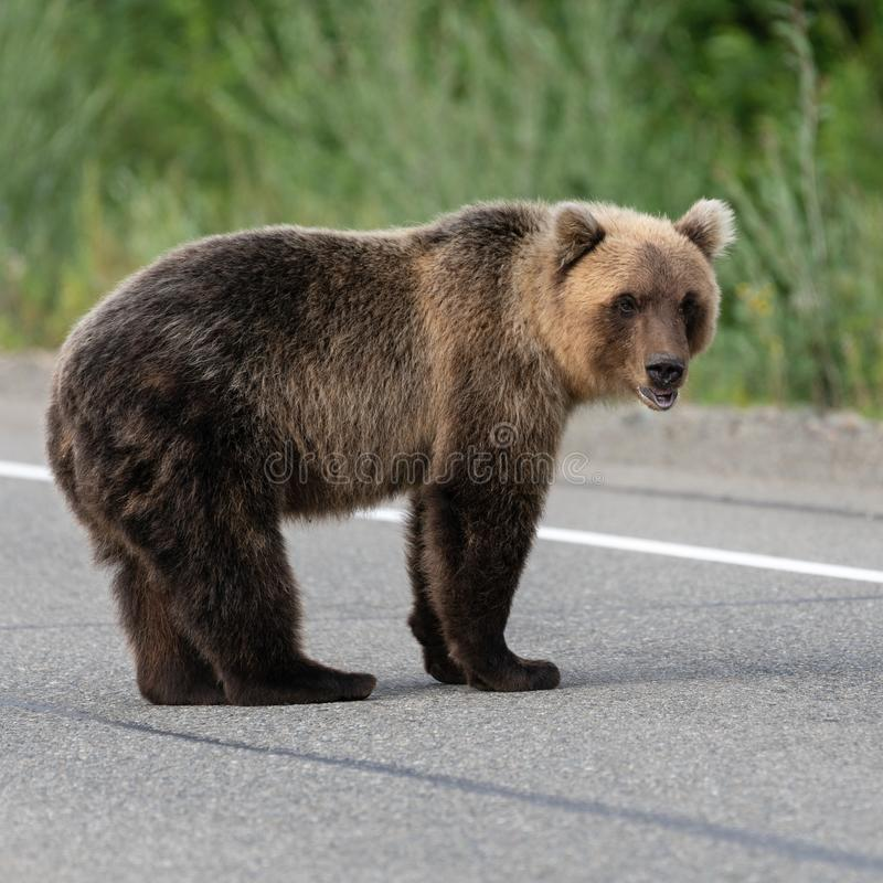 Wild hungry Kamchatka brown bear standing on asphalt road royalty free stock photos