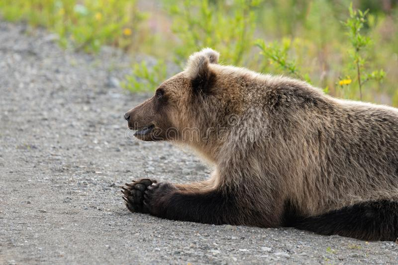 Wild hungry and terrible Kamchatka brown bear lies on stones and looking around stock photography