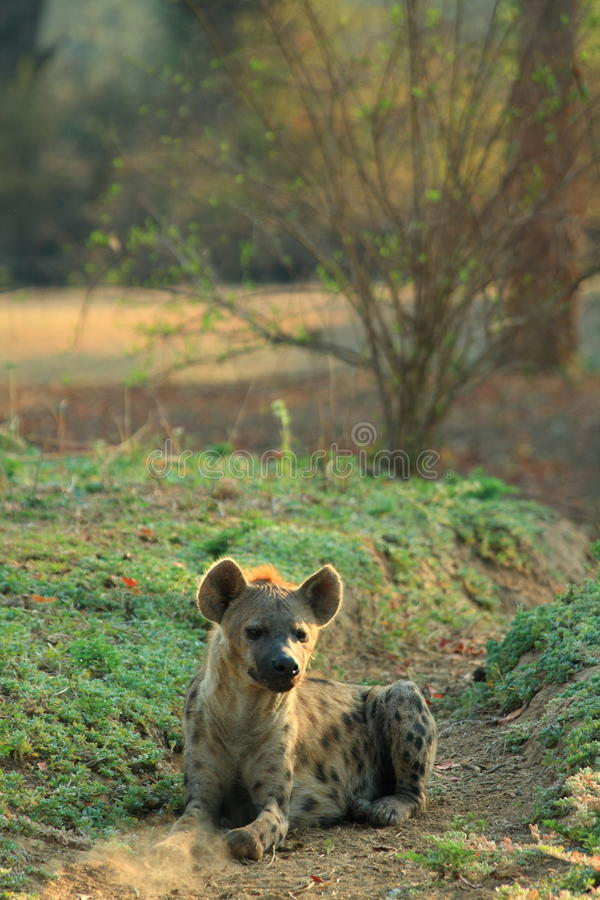 Free Wild Hyena Stock Images - 12735194
