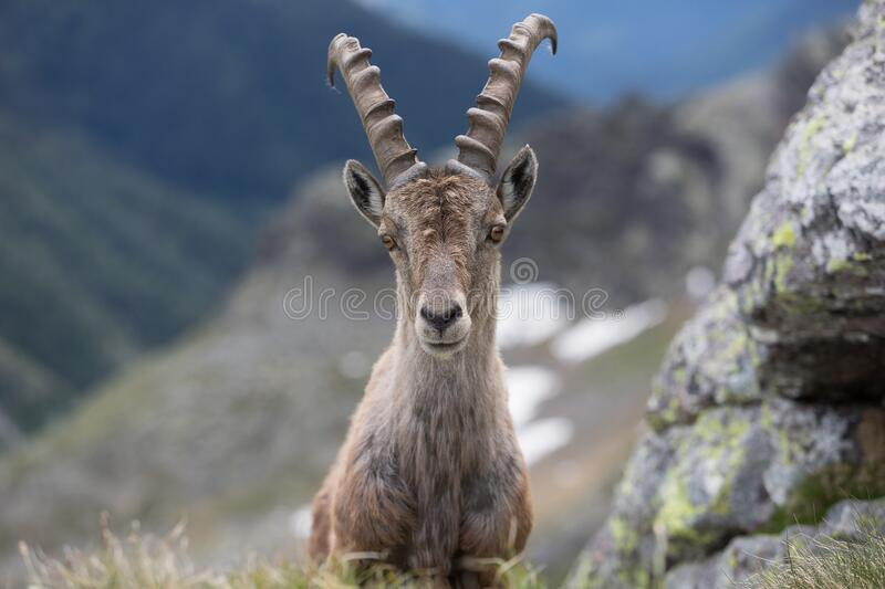 A wild ibex royalty free stock photography