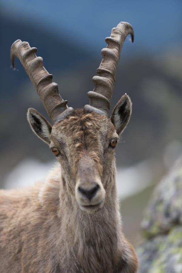 A wild ibex stock photos