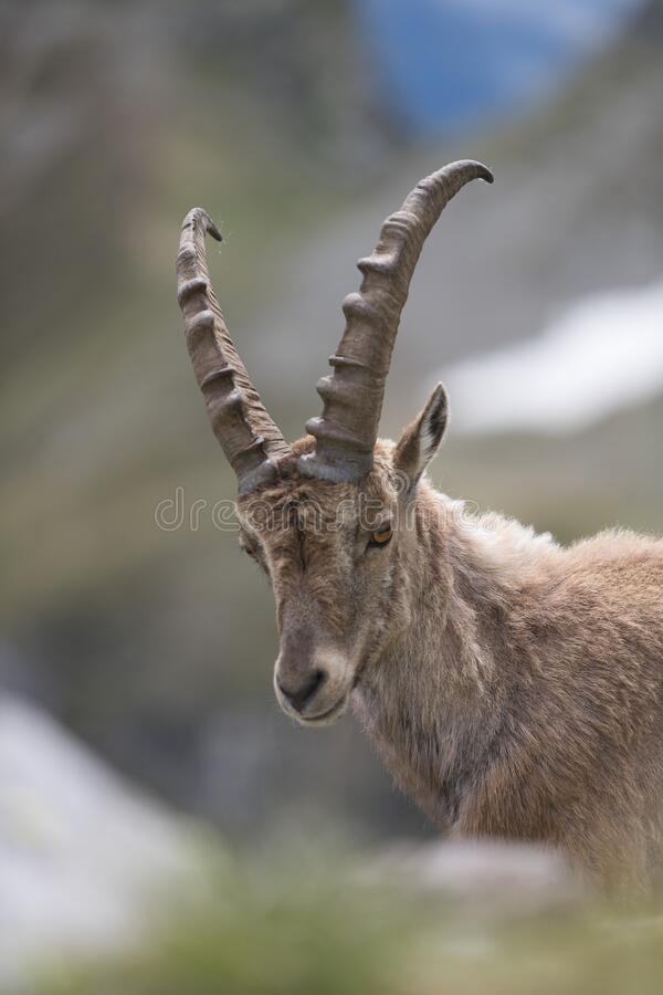 A wild ibex stock images