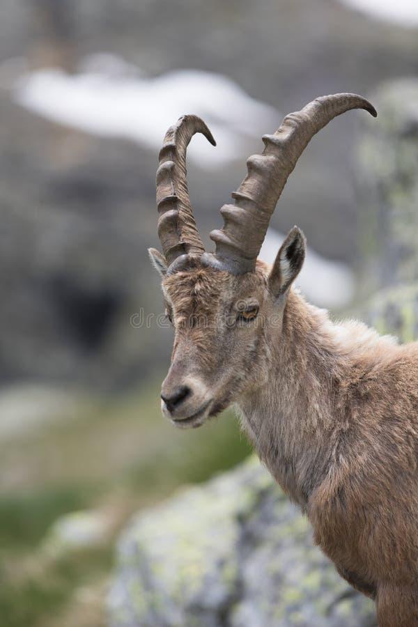 A wild ibex royalty free stock image