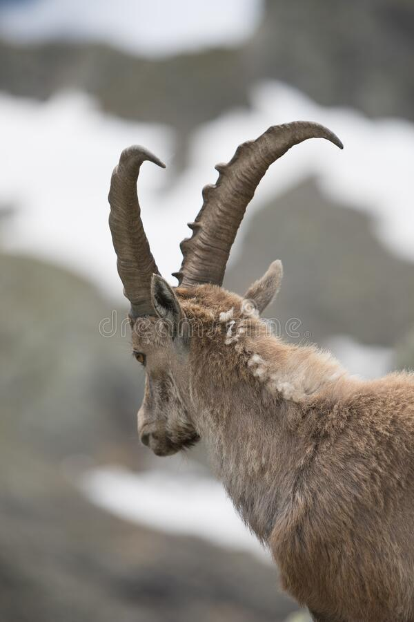 A wild ibex royalty free stock images