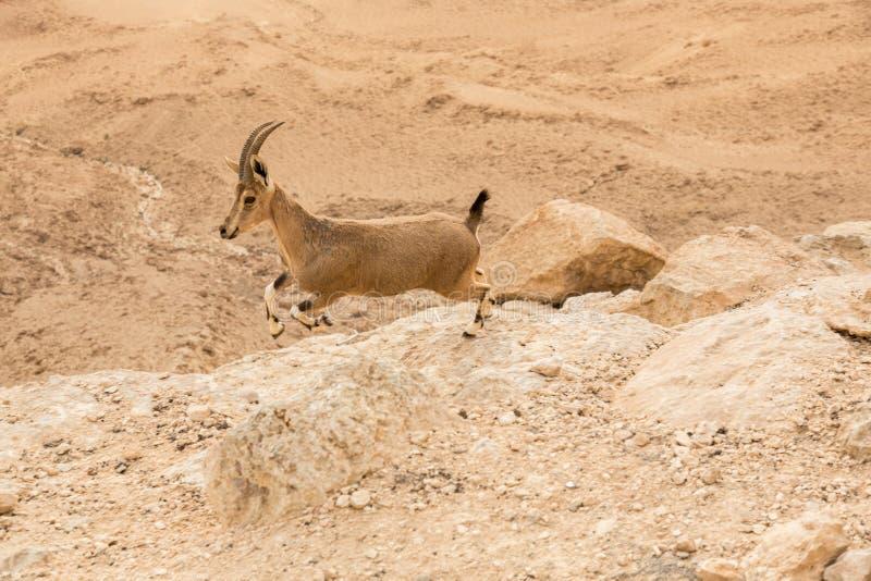 Wild ibex at sunrise in Negev Desert in Mitzpe Ramon, Israel stock photos