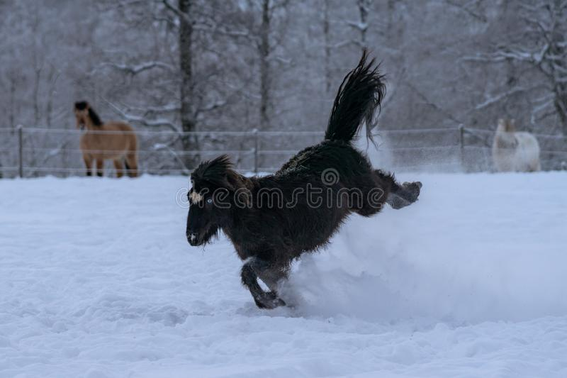 Black Icelandic horse with blue eyes bucking in deep snow stock photos