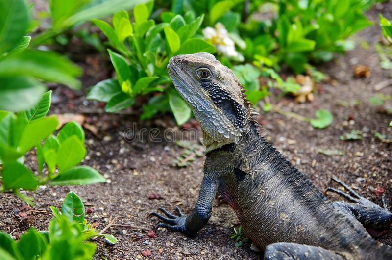 Wild iguana portrait. Reptile in the nature. stock photography