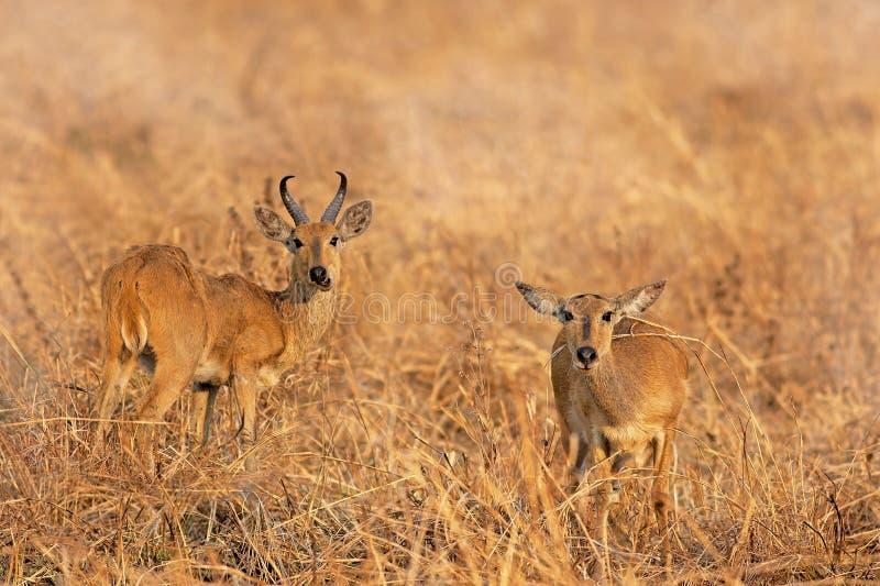 Download Wild Impala stock image. Image of warm, safari, beauty - 27713237