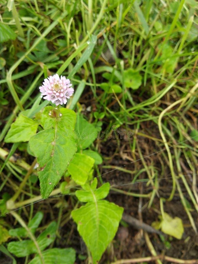 wild Indian flower stock image