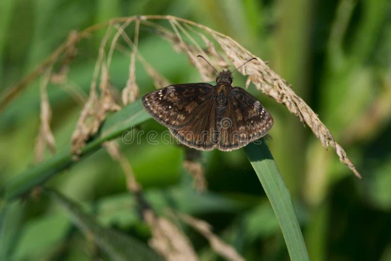 Wild Indigo Duskywing butterfly by Jesse Casbon   Hoosier