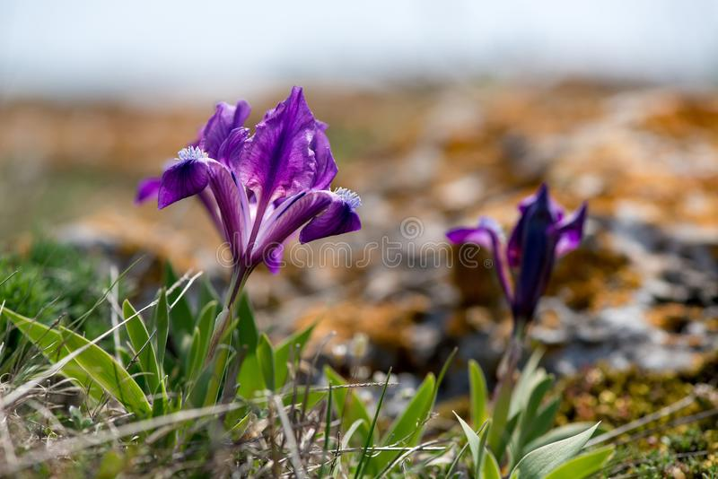 Wild Iris blossoming in a sunny spring day royalty free stock images
