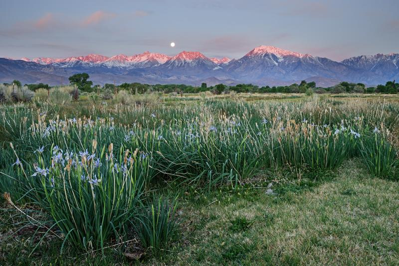 Wild Iris In Field With Moonset And Mountain Sunrise. Wild iris blooming in a field with mountain sunrise and moonset in the distance stock photo