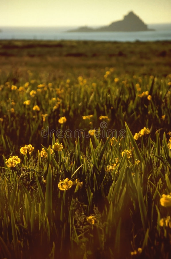 Free Wild Iris In Flowering Meadow At The Coastline Stock Photo - 4563950